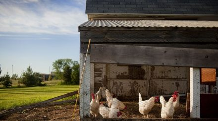 Prepare your Chicken Coop for the winter
